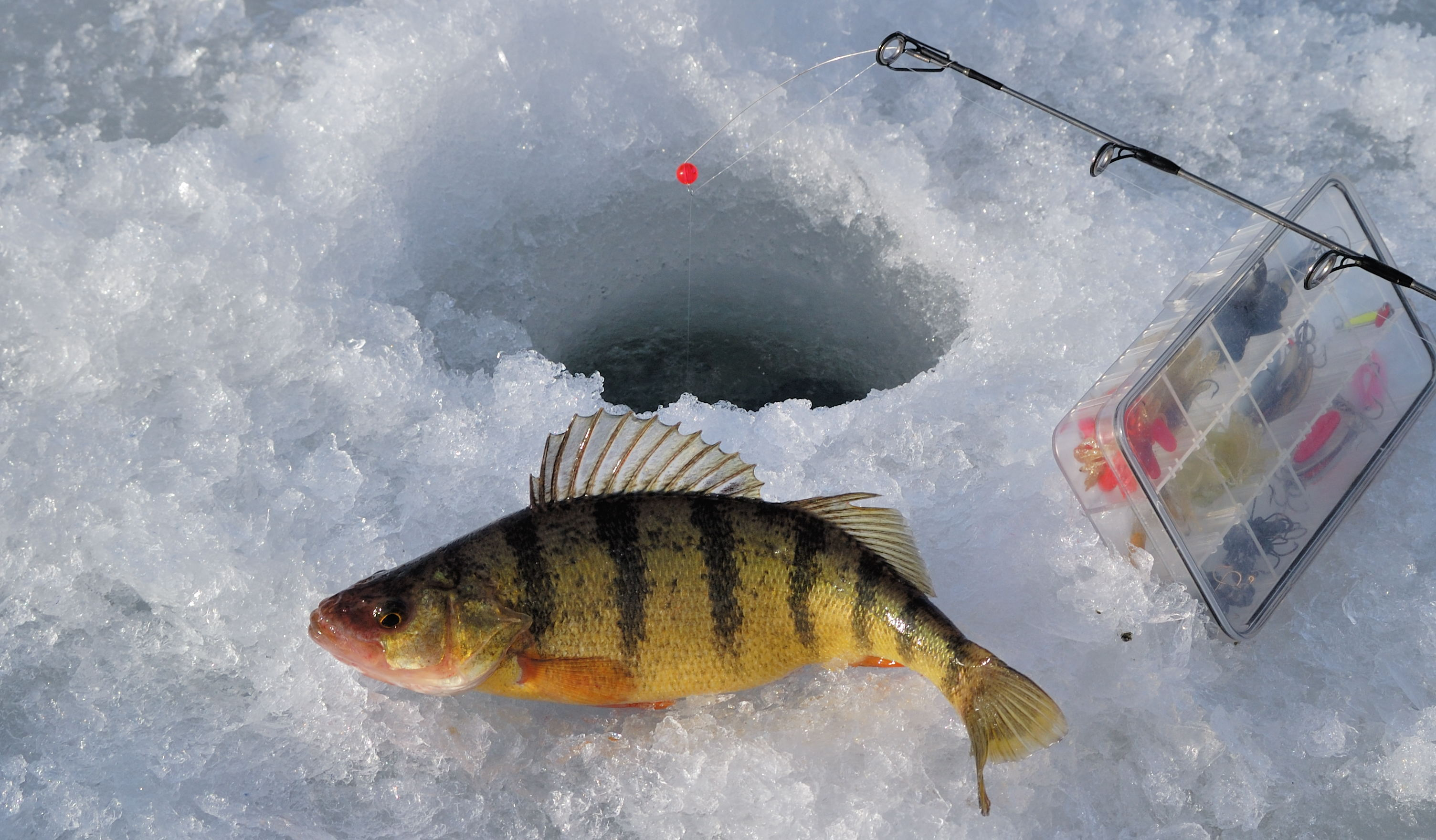 Ice Fishing - Yellow Perch - Colorado Outdoors Online